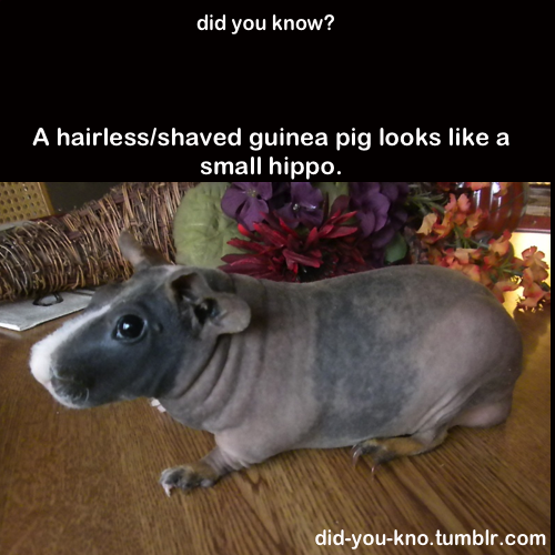 now i want a guinea pig just to shave it - meme
