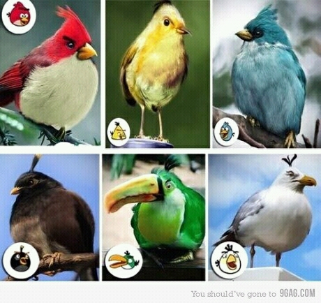 The Real Angry Birds - meme