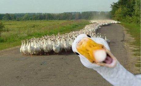 50a02f5f87979 duck photobomb meme by darkbever ) memedroid,Duck Meme